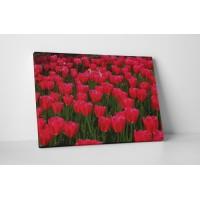 Vörös tulipánok