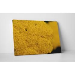 Sárga mezei virág