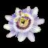 A szenvedély virága