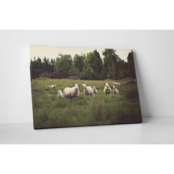 Mezei bárányok