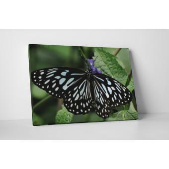 Csíkos pillangó