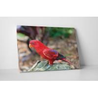 Piros madárka