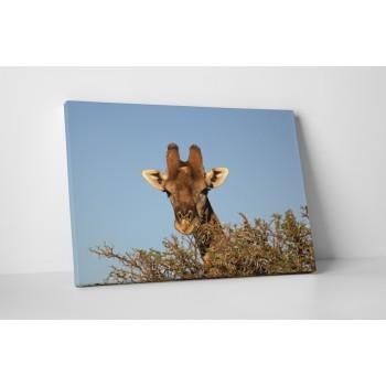 Zsiráf a fák fölött