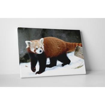 Červená panda ve sněhu