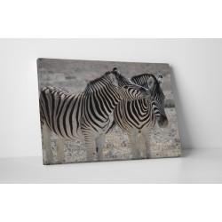 Zebra szerelem