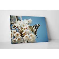 Pillangó a barackvirágon