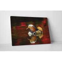 Színes mandarin kacsa