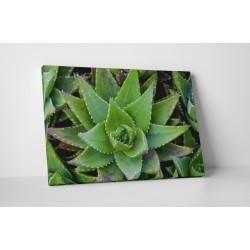 Aloe Vera növény