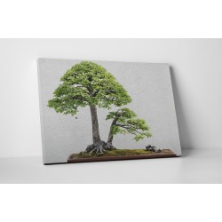 Szilfa bonsai