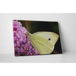 Krémszínű pillangó