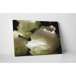 Fehér rózsák